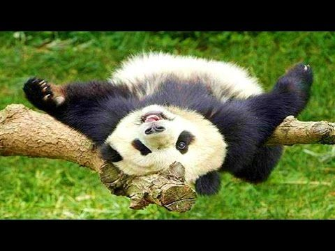 Funniest Panda Videos EVER - YouTube