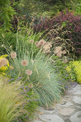 50 best barberry images on pinterest decks shrubs and for Small ornamental grasses