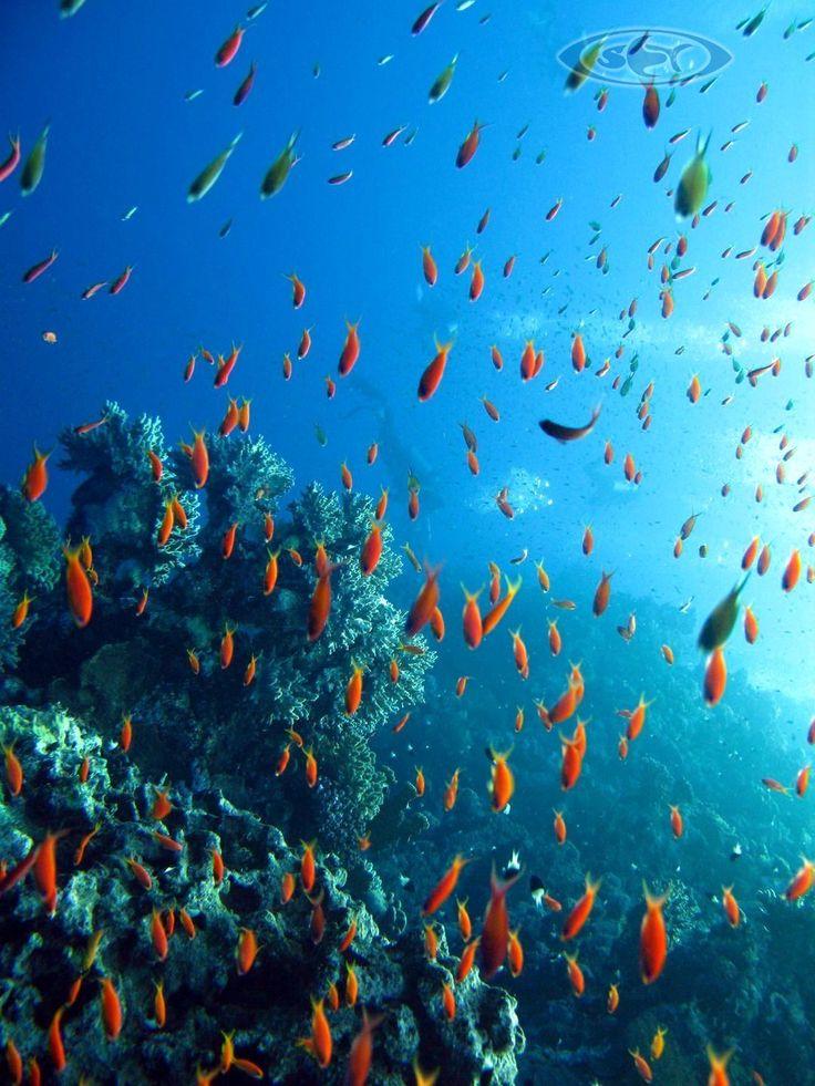Internationale SET Ausbildung: Schwimmen, Erste Hilfe, Tauchen: www.schwimmen-tauchen-tirol.at #Marine_fish #Meeresfische #Egypt #Meer #Diving