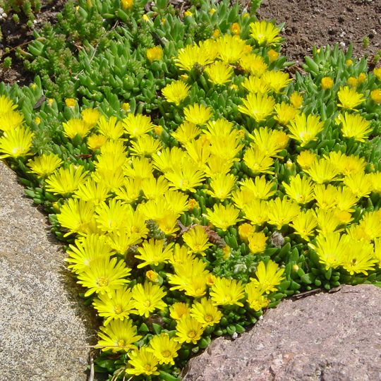 Deloa Nubergina Se 3023 Hardy Ice Plant Low Growing And Ly Mounded Great Succulent Gardeningcacti Succulentsflower