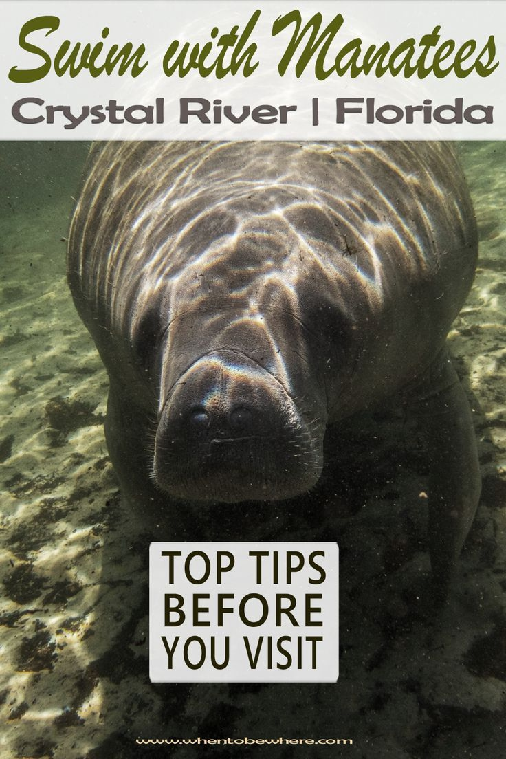 Swimming And Snorkeling With Manatees In Crystal River Florida Three Sisters Springs A Bucket List Experience Crystal River Florida Manatee Crystal River