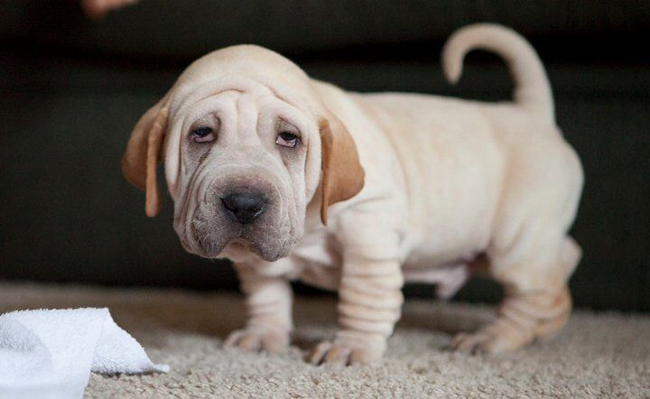 How could you not love this little thing?! He's a Basset Hound/Shar Pei Mix.
