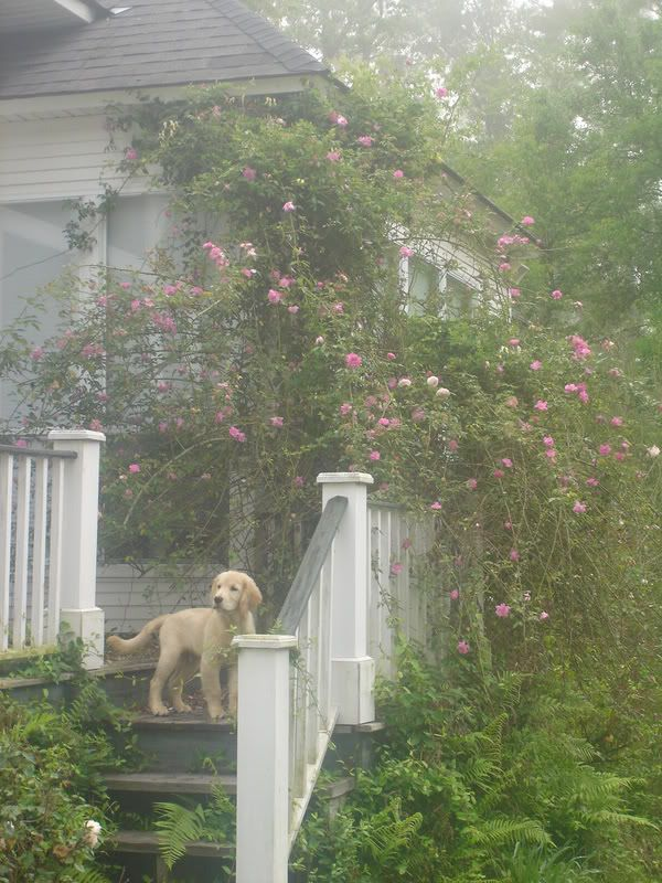 I want this dog!  Love the climbing roses - don't know that I would want them that wild but I love the idea