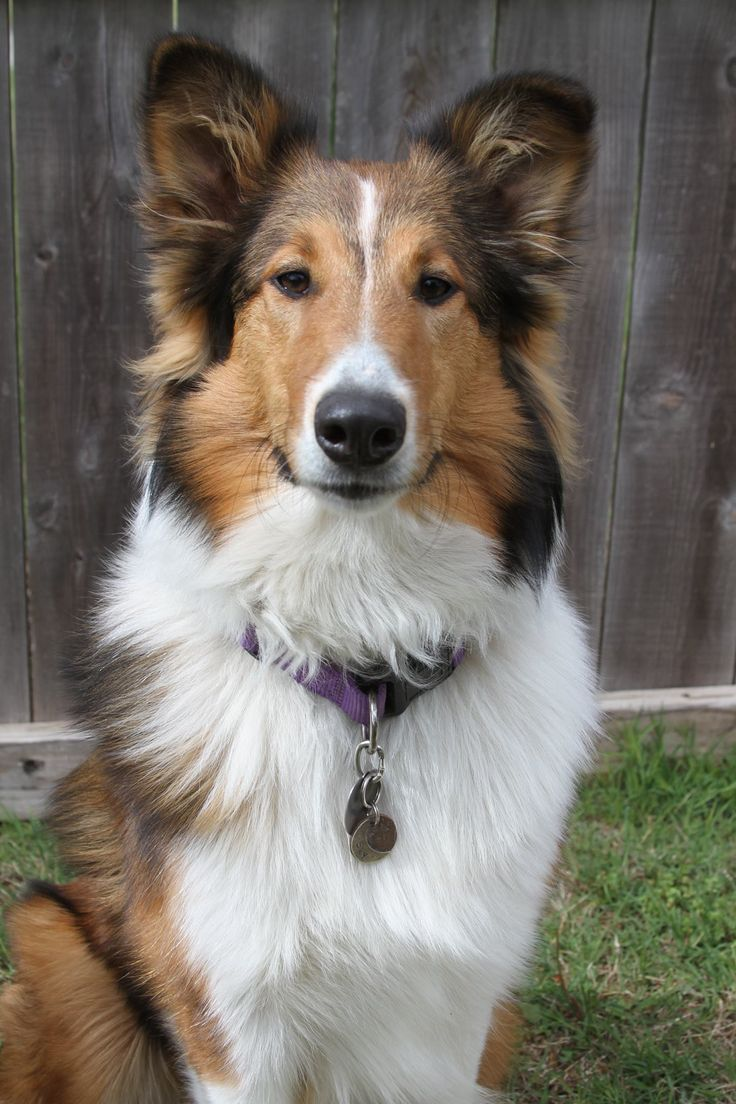 Old Time Scotch Collie - Tess