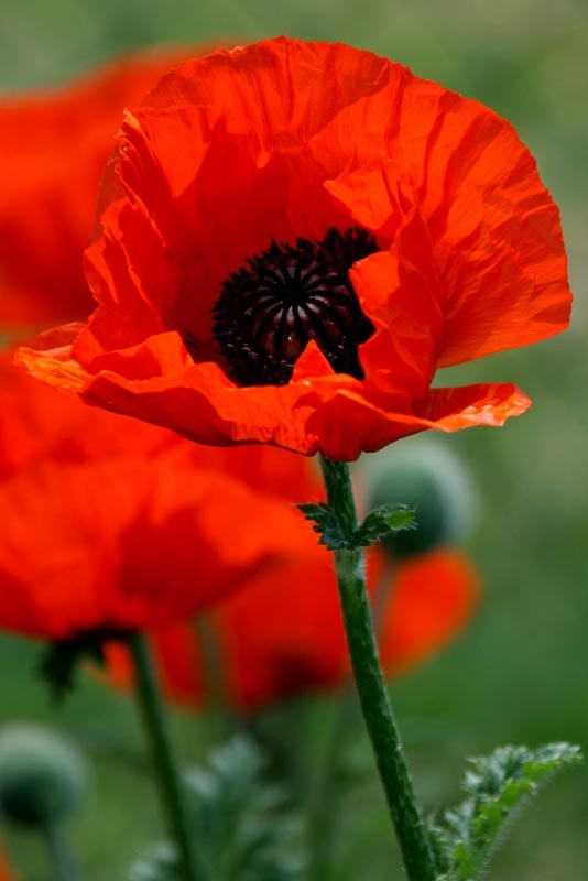 Firey red poppy #pin to win!!! Bebe'!!! Glorious red poppy!!!! Love these beautiful poppies!!!
