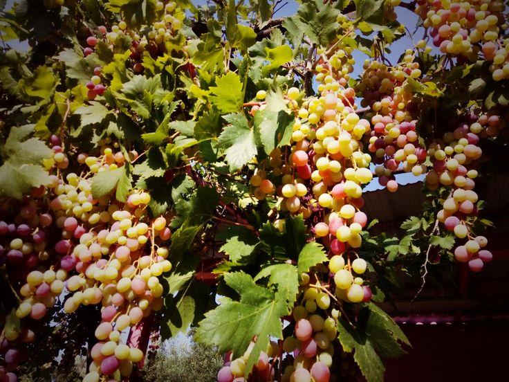 100% Bio Grapes di Farma Parnassou.