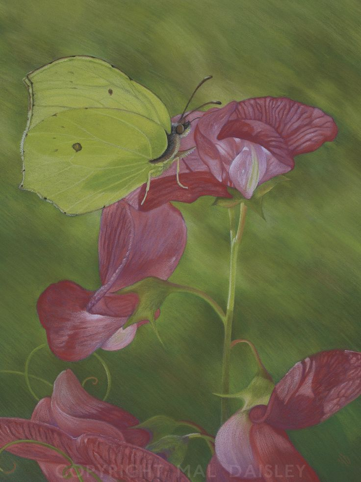 Brimstone butterfly feeding on Everlasting Pea. Pastel. For sale.