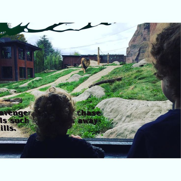 Watching the lions at the zoo #family #boys #parenting Lets connect on facebook: http://ift.tt/2gq1dB7