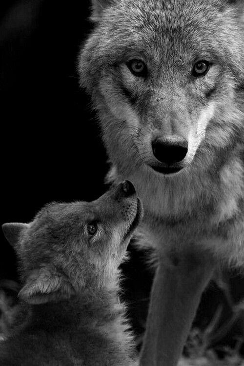 La gestación es de 60 a 63 días, los cachorros nacen en una madriguera donde se quedan con su madre hasta cumplir las tres semanas. Las camadas están formadas entre 4 y 6 lobeznos, con un pelaje más obscuro y ojos azules, los cuales cambian entre las 8 y16 semanas.