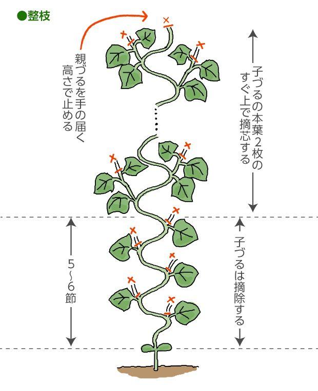 キュウリの育て方 栽培方法 失敗しない栽培レッスン 野菜の育て方