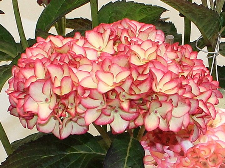 91 best hortensien images on pinterest hydrangeas hydrangea and plants. Black Bedroom Furniture Sets. Home Design Ideas