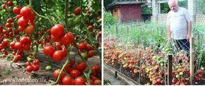 Dorești să ai suficiente roșii pentru mâncare și conservare pentru iarnă? Secretul unei recolte abundente constă într-o soluție destinată cultivării tomatelor. Am găsit această rețetă într-un ziar sovietic despre grădinărit. Aici am zărit o scrisoare expediată editorului de către un bunel în care cel din urmă a împărtășit secretul lui. Iată și rezultatul obținut. Impresionant, …