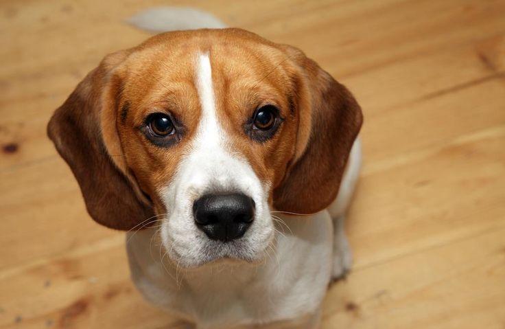Beagle à l'intérieur