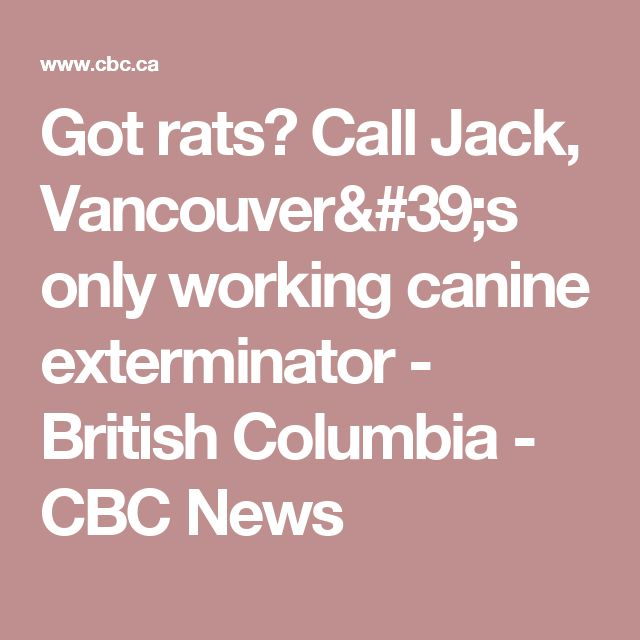 Got rats? Call Jack, Vancouver's only working canine exterminator - British Columbia - CBC News