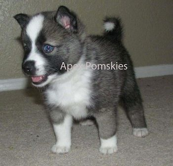 Noki the Pomsky as a puppy at 5 weeks old... I need one of these!