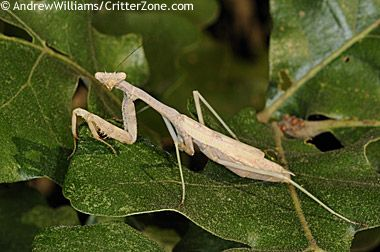 South Carolina designated the Carolina mantid - Stagmomantis carolina (Johannson) - as the official state insect in 1988. Chinese mantises are an introduced species, naturalised because they've been here since the late 19th century. The problem is that they are bigger than our native mantises (the Carolina mantis being one) and can out-compete the native mantises for food and territory.