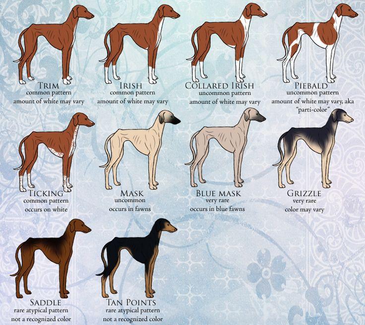 62 best AZAWAKH images on Pinterest | Greyhounds, Doggies ...