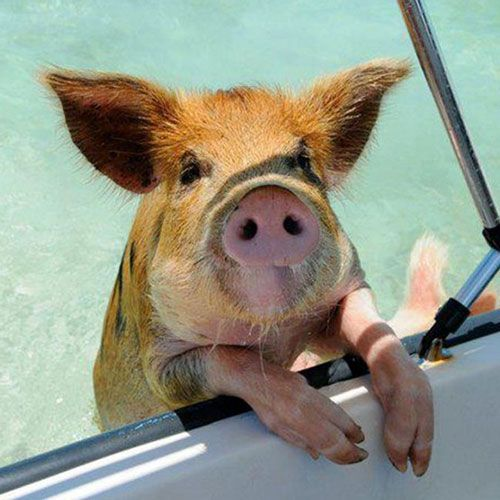 On the Bucket List: Swimming with Pigs in the Bahamas | Travel + Leisure