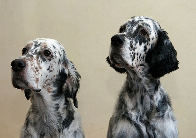 1000  ideas about english setter puppies on pinterest