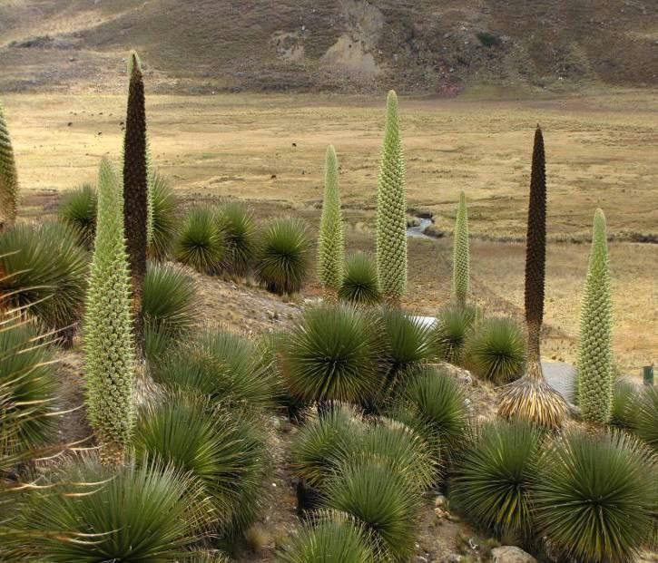 'stand' of wild bromeliads