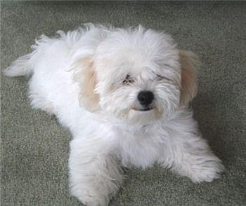 Puppy Bichon Frise   Google Image Result for http://puppydogweb.com/gallery/bichonfrises/bichonfrise_atkey.jpg