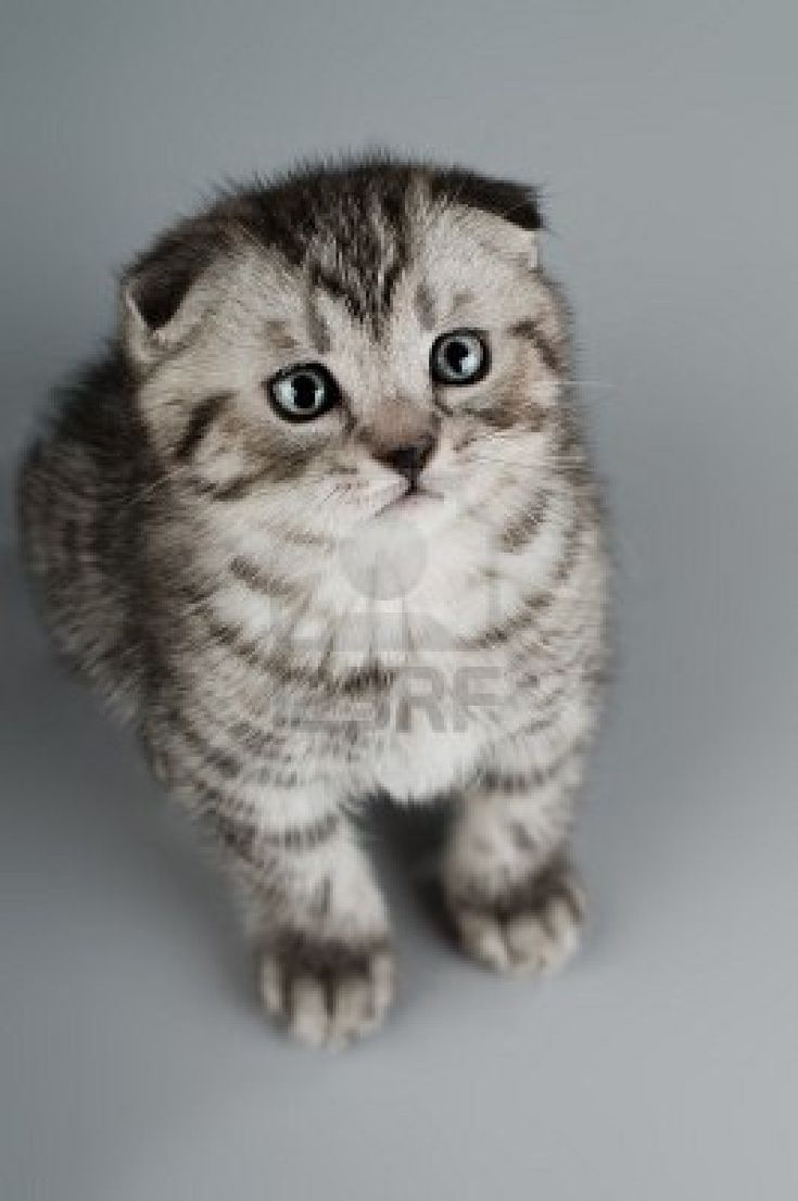 37 best In search of my Scottish Fold images on Pinterest