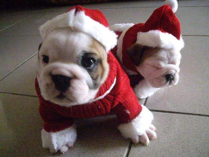 funny christmas bulldog - photo #25
