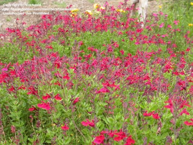 Full Size Picture Of Autumn Sage, Cherry Sage, Greggs Sage, Texas Sage  (iSalvia Greggii/i)
