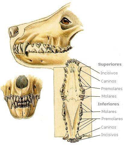 Dentadura en el perro #perro #perros #mascotas #animales