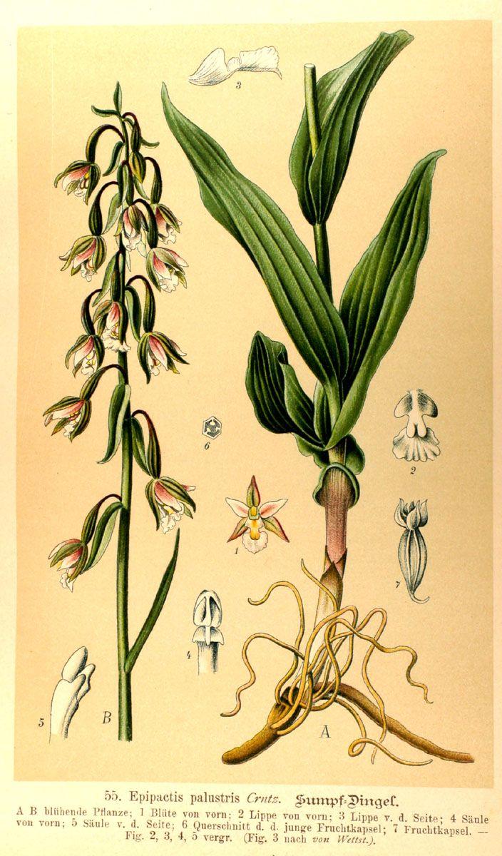 Epipactis_palustris.jpg (704×1200)