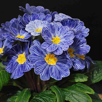 Zebra Blue Primrose, another beautiful blue flower I'd love to find!!