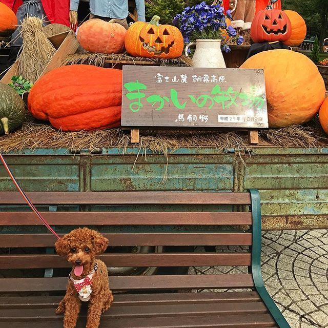 静岡の旅🚗💨 #まかいの牧場 #ハロウィン  #犬#トイプードル#トイプードルレッド #トイプードルレッド女の子  #愛犬#toypoodle #トイプードル部  #犬好き #犬好きな人と繋がりたい  #instagood#like4like#l4l#love