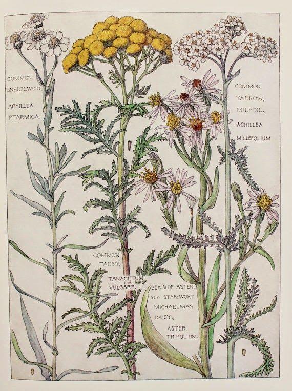 Botanical Print, 1910, by Harriet Isabel Adams (1863-1952)