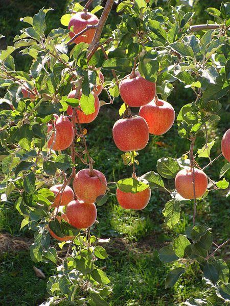 Een appelboom kopen, planten en verzorgen - Fruitbomen Informatie - Fruitbomen.net