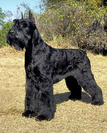 i'd love to have a giant schnauzer! he'd make my miniature schnauzer look like a little puppy and it would be a cute family