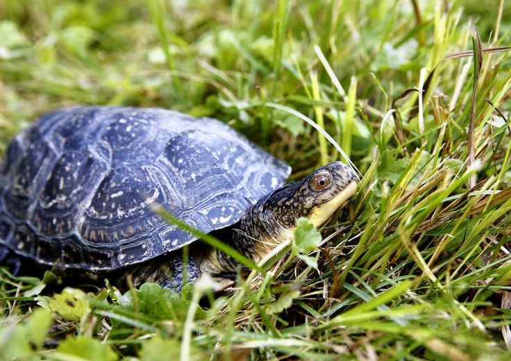 This Blanding's turtle makes her way through the grass towards the pond at Brookfield Zoo. Nine adult female Blanding's turtles were released into a man-made pond in a private section of Brookfield Zoo.