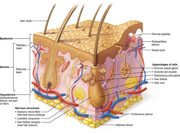 5.1 The skin consists of two layers: the epidermis and dermis