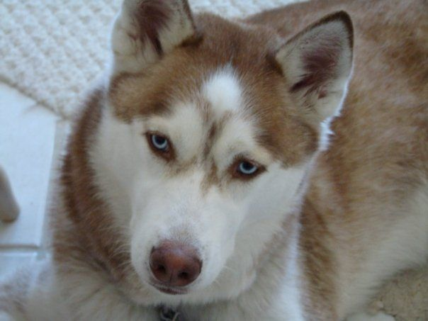 This is a red and white Siberian Husky. Learn more about huskies here: https://www.facebook.com/HuskyMomAtSiberianHuskyRescueOfFlorida