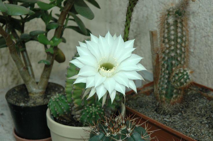 Echinocereus white