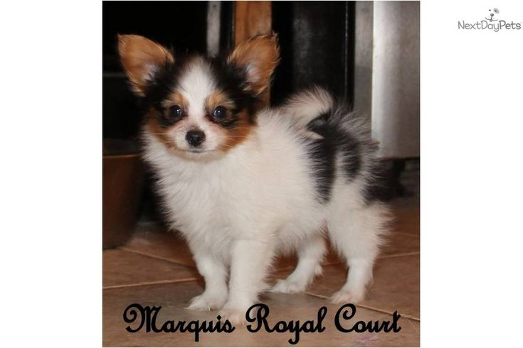 Papillon Puppy for Sale: Pending- AKC Rio - *SHOW PROSPECT* -