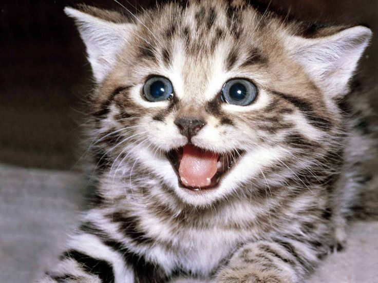 #cat: Happy Kitty, Kitty Cat, Exotic Pet, Funny Cat, Baby Kittens, Cute Cat, Cat Photo, Funny Photo, Baby Cat