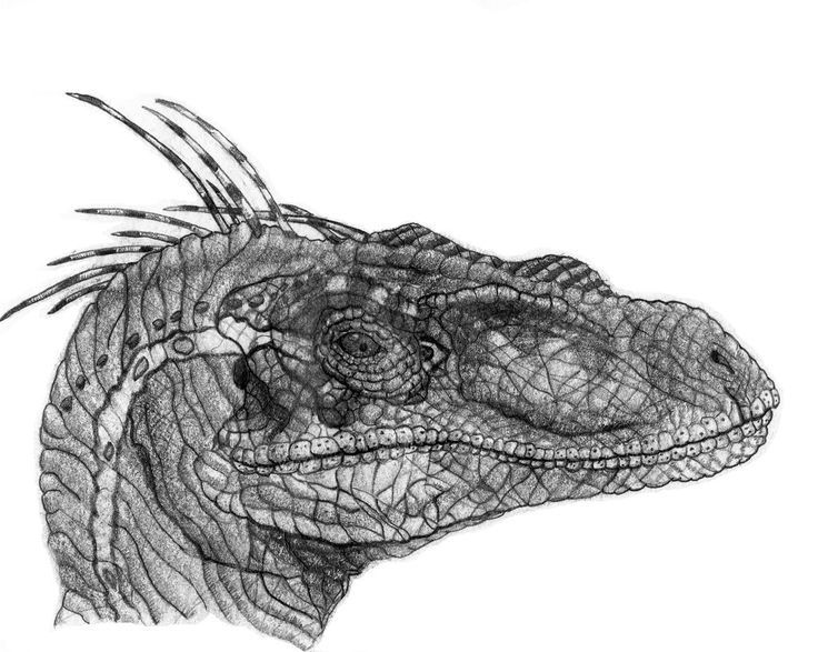 Jurassic Park Velociraptor Drawing 3 By
