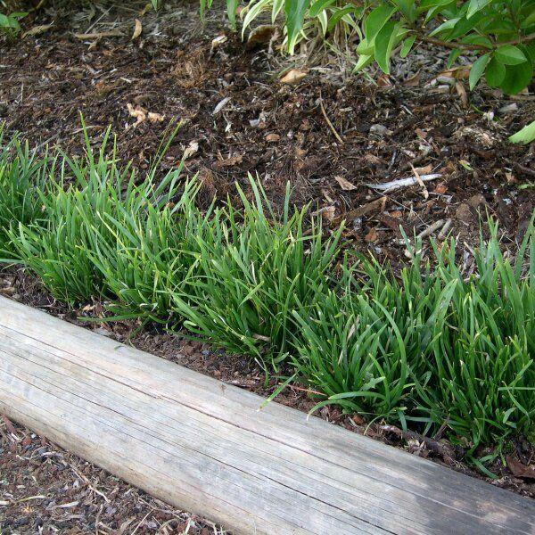 47 best grasses and ground covers images on pinterest grasses au lomandra longilfolia erindale rush mat altavistaventures Gallery