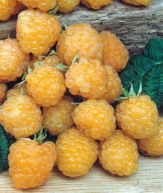 Raspberry, Anne  A pale yellow raspberry with excellent size, appearance and sweet flavor.  Tall upright canes, producing large, conic, pale yellow fruit with very good flavor and texture mid to late season. Resistant to Phytophthora root rot.