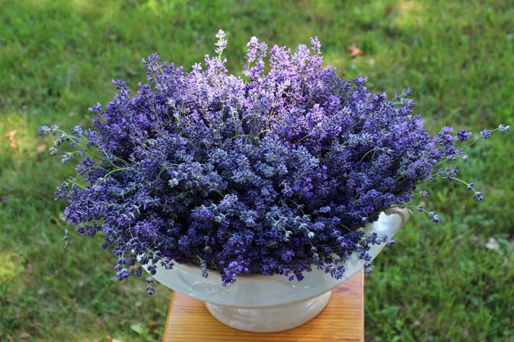 A Bouquet of our Lavender at Lovegrass Farm.