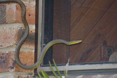 Amongst Gum Trees: Common Tree Snake