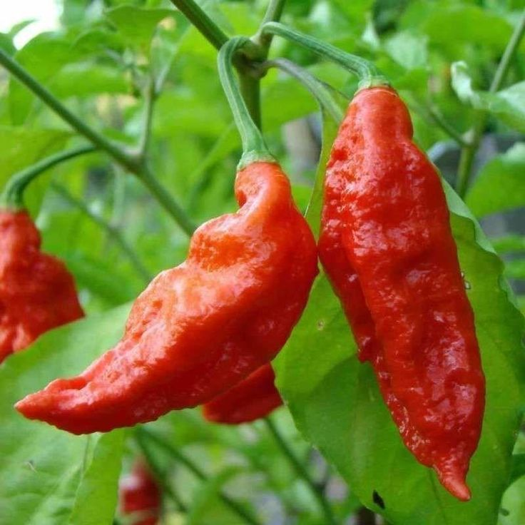 Pepper (hot) 'Bhut Jolokia' (Ghost Pepper) - (Capsicum chinense)