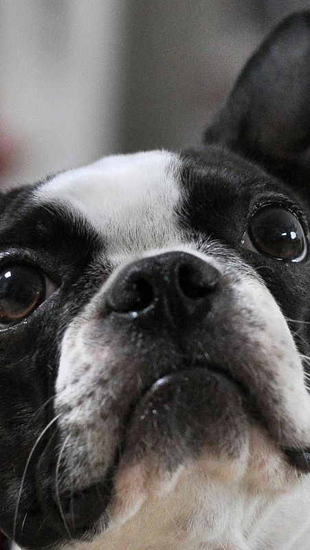 french_bulldog_muzzle_eyes_ears_spotted_27016_640x1136