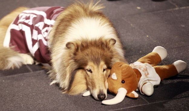 """And the #1 College Mascot is Texas      A & M's Miss Reveille!  """"A very classy lady of a dog. Kudos, ma'am."""""""