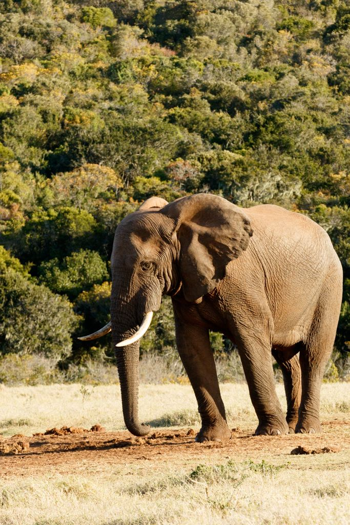 My best SIDE - African Bush Elephant My best SIDE - The African bush elephant is the larger of the two species of African elephant. Both it and the African forest elephant have in the past been classified as a single species.